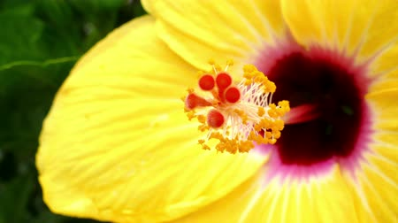 yumuşaklık : Hibiscus detail, moved by the breeze. Macro. Side View.4K.