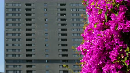 sustainable resources : Sustainable city. Close-up of magenta color flowers, moved by the wind, on a gray and unfocused background building. Stock Footage