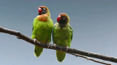 související : BLACK-CHEEKED LOVEBIRD (AGAPORNIS NIGRIGENIS). Couple of parrots on a branch, while they move and report.