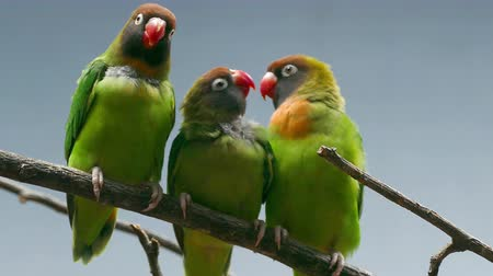 související : BLACK-CHEEKED LOVEBIRD (AGAPORNIS NIGRIGENIS). Three parrots perched on a branch while the couple are kissing the second male look. Dostupné videozáznamy