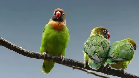 související : BLACK-CHEEKED LOVEBIRD (AGAPORNIS NIGRIGENIS). Three parrots perched on a branch while the couple are kissing the female gives a peck at the second male.