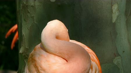 chilean flamingo : Close-up of Chilean Flamingo (Phoenicopterus chilensis) looking at you and hides his head among the plumage to sleep, Stock Footage
