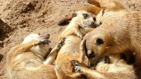 stokstaartje : Colony of meerkats resting and sunbathing, some are scratching with their paws and nibbling.
