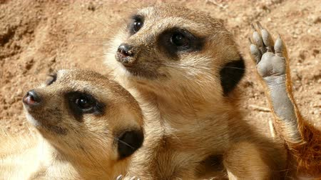 бдительный : Close-up of two of vigilant meerkat. That look in the same direction and showing the plant of the paw.