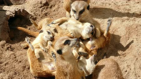 бдительный : Colony of meerkats resting and sunbathing some watch. Стоковые видеозаписи
