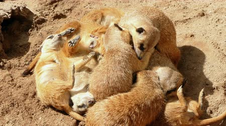 gregarious animal : Colony of meerkats resting and sunbathing, two of them nibble affectionately. Stock Footage