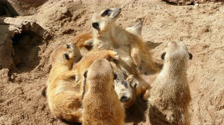 to bite : Colony of meerkats resting and sunbathing some watch. Stock Footage