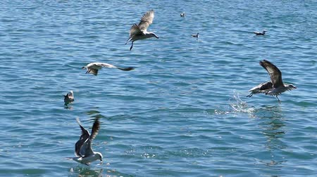 pairar : Many seagulls flying in slow motion, catching food floating in the sea.