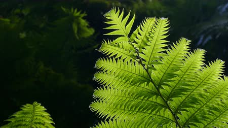 kapradina : Closeup of ferns back-lighting, moved by the wind and dark background. Time Lapse