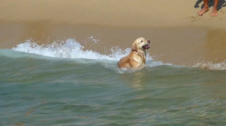 telephoto lens : Happy dog playing with waves at the seashore, a sunny day.Slow motion.