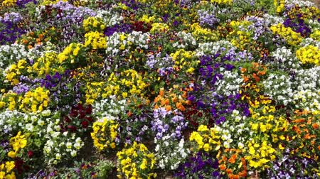 üç renkli : Many flowers: colorful pansies with moved by breeze.Motion camera: PAN.Top view