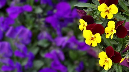 maceška : Many flowers: colorful pansies with moved by breeze.Artistic blur.Fixed plane. close up
