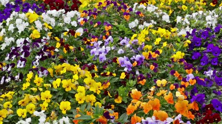 maceška : Many flowers: colorful pansies with moved by breeze.Fixed plane