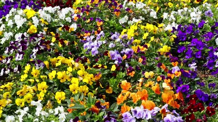 maceška : Many flowers: colorful pansies with moved by breeze.Motion camera: TILT
