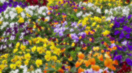trikolóra : Many flowers: colorful pansies with moved by breeze.Artistic blur.Fixed plane
