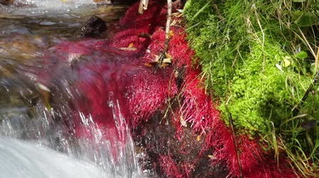 power plant : Detail of mountain river with red plants (Eleocharis sp Red) and strong current of water, conveying feelings of harmony and energy. Sound. Stock Footage