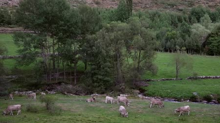 pyreneje : Cows grazing peacefully and in freedom, in a beautiful landscape
