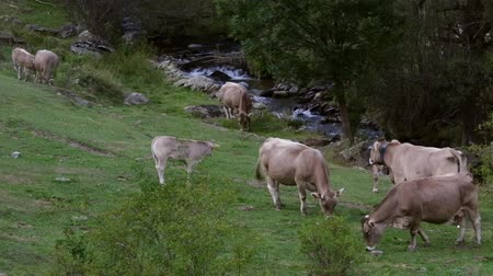 pyreneje : Cows grazing peacefully and in freedom, in a beautiful landscape with a mountain stream.