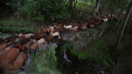 přežvýkavec : Herd of goats crossing a river with a small waterfall, evoking rural life and healthy and organic food.Time Lapse.