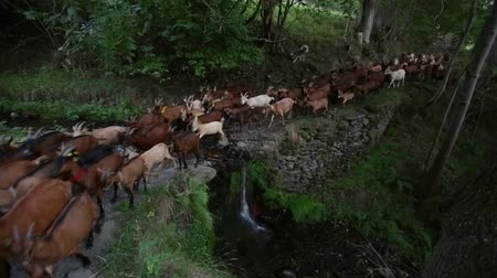 přežvýkavec : Herd of goats crossing a river with a small waterfall, evoking rural life and healthy and organic food. Dostupné videozáznamy