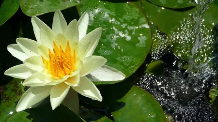 шуй : Water lily in the pond with a jet of water falling in the background and moved softly in the breeze.Slow Motion.