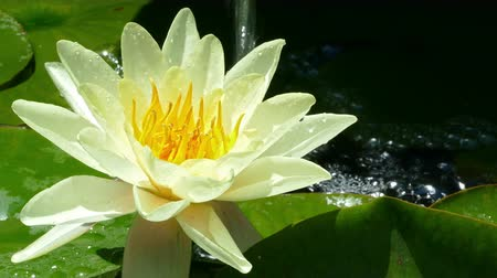 Water lily in the pond with a jet of water falling in the background and moving softly in the breeze.
