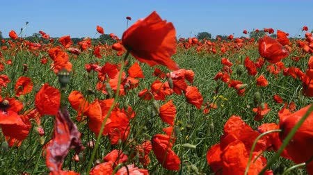 haşhaş : Polish landscape. Beautiful poppy flowers Stok Video