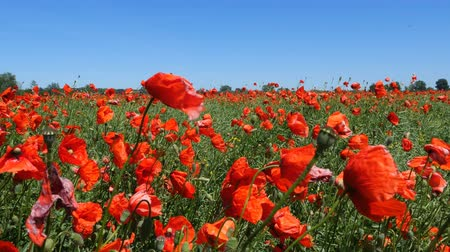 haşhaş : Beautiful red poppy flowers