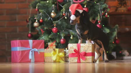 мальтийский : a funny little dog in a Santa Claus hat, with his front paws on a gift box and something sniffing, a bright festive background Стоковые видеозаписи