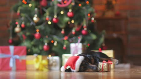 brindle : cute dog in santa claus hat wakes up on the floor near the Christmas tree, gets up and goes to the camera, a bright festive background Stock Footage