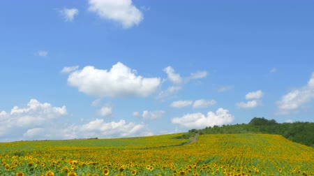 4k, panorama of a field of ripe sunflowers in the hills