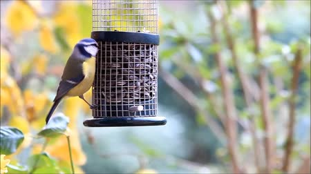 пельмени : tit, blue tit, feeding sunflower seeds