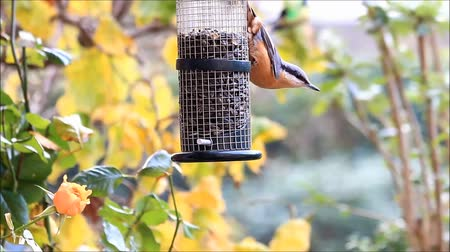 пельмени : bird nuthatch, winter, feeding sunflower seeds, Стоковые видеозаписи
