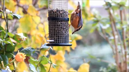 пельмени : bird nuthatch, winter, feeding sunflower seeds