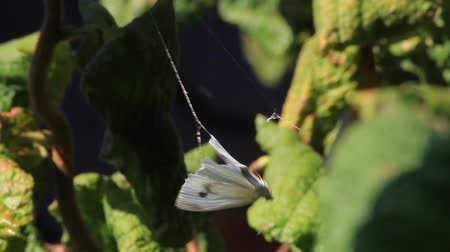 yakalamak : White Butterfly caught in cobweb