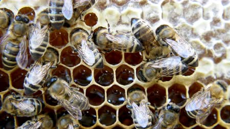 honey comb : Busy bees, close up view of the working bees on honeycomb. Close up of some animals and honeycomb structure.