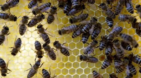 arı kovanı : Busy bees, close up view of the working bees on honeycomb. Close up of honey and honeycomb structure. Stok Video