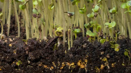 rostoucí : A seedling growing from the dirt time lapse video. Microgreens healthy food with vitamins. Dostupné videozáznamy