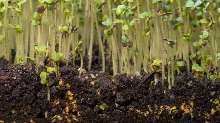 A seedling growing from the dirt time lapse video. Microgreens healthy food with vitamins. Dostupné videozáznamy