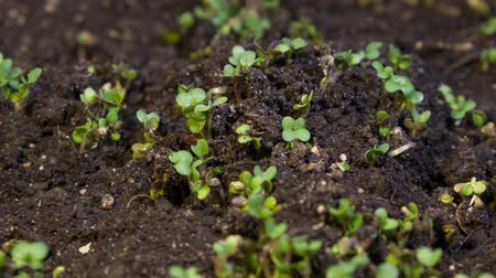 появление : A seedling growing from the dirt time lapse video. Microgreens healthy food with vitamins. Стоковые видеозаписи