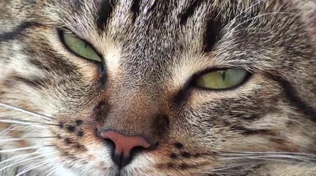 tabby cat : eyes of the cat Stock Footage