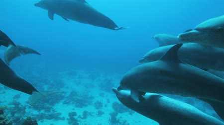yunus : school dolphins travels in the blue water