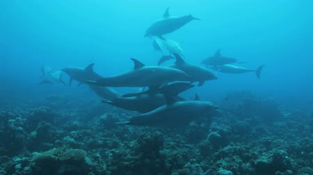 yunus : school of dolphin play in the water Stok Video