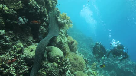 yaratık : free swimming moray eel with divers in the background Stok Video