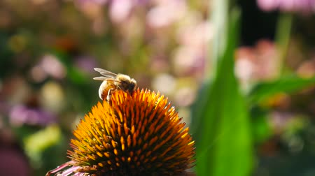 insetos : Bee working on big Echinacea officinalis flowers