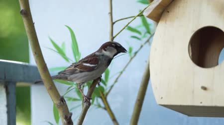 певчая птица : Sparrow eating bread in front of a feeding house