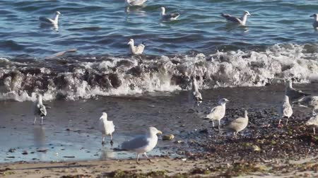 aves marinhas : Seagulls looking for food on the beach