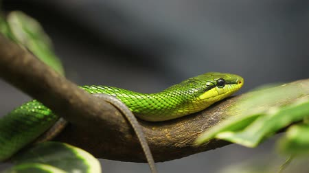 змей : Snake, Red-tailed Rat-snake on the tree
