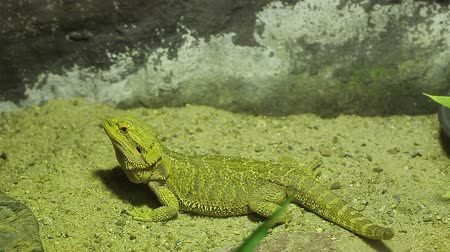 ящерица : Little lizard names Bearded Dragons looking, in yellow lighting