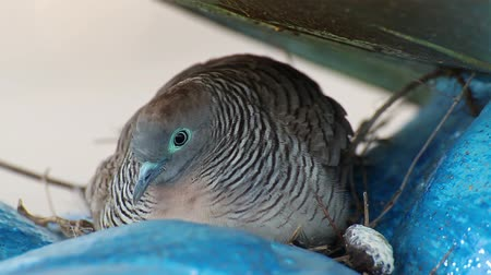 fészek : pigeon or dove incubating egg in nest, closeup